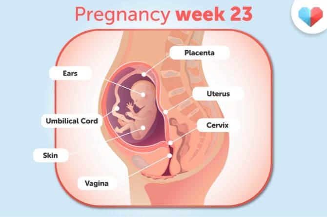 هفته بيست و سوم بارداري(1)
