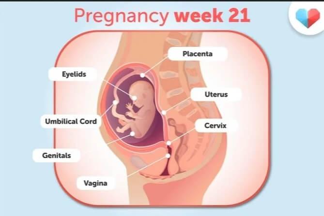 هفته بيست و يكم بارداريw