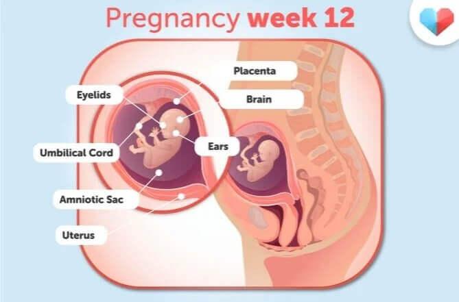 هفته دوزادهم بارداری