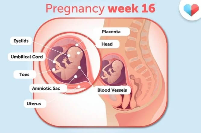 هفته 16 بارداری