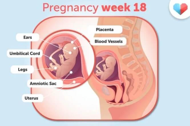 هفته 18 بارداری