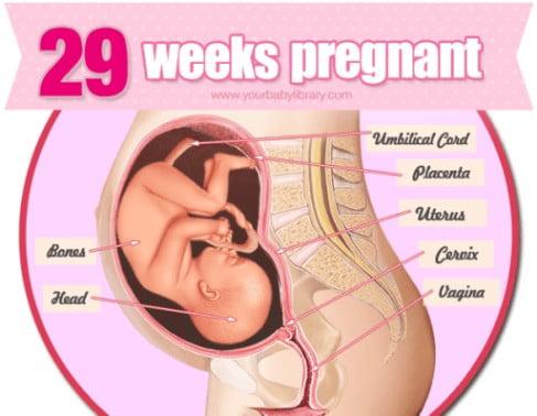 هفته 29 بارداری