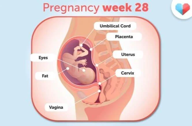 هفته 28 بارداری